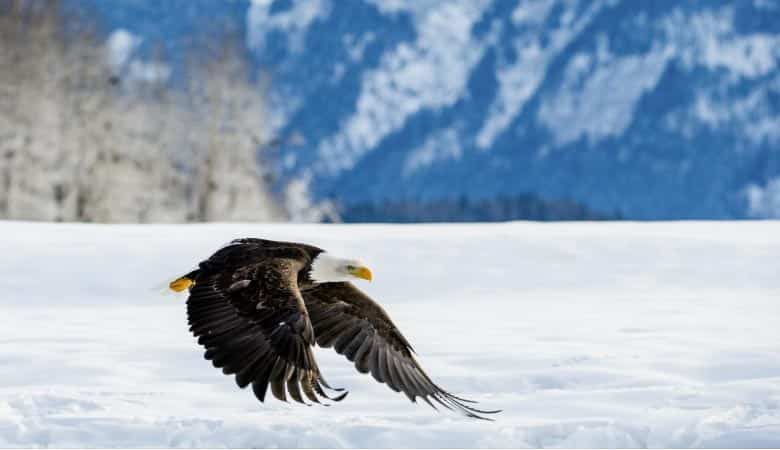 bald-eagle-weight