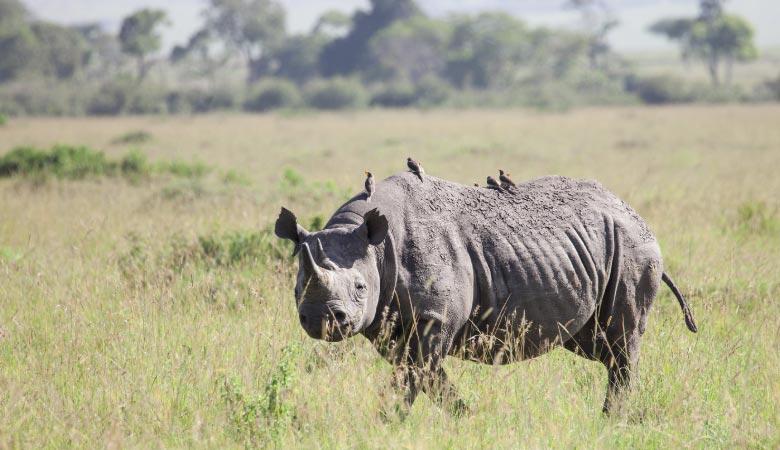 black-rhino-weight
