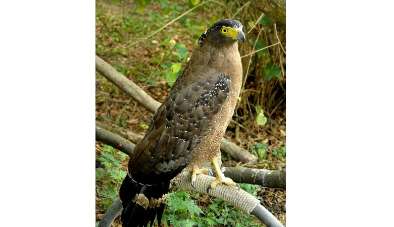 crowned-eagle-weight