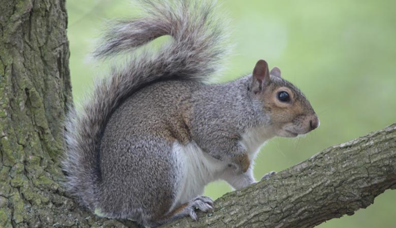 gray-squirel-2-pounds