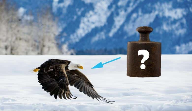 how-much-does-an-eagle-weigh