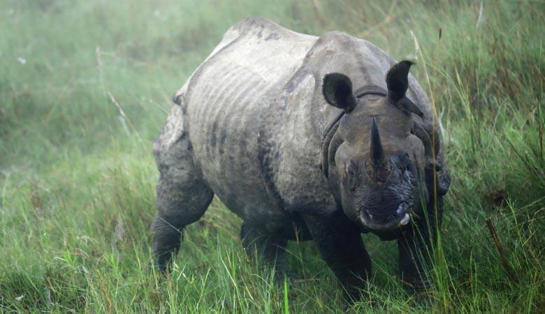 indian-rhino-weight