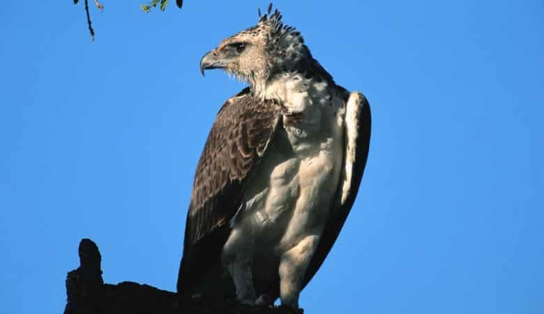 martial-eagle-weight