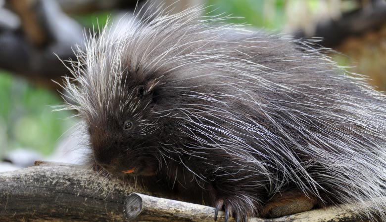 north-american--Porcupine-heavy-rodent