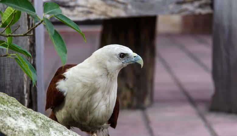 philippine-eagle-weight