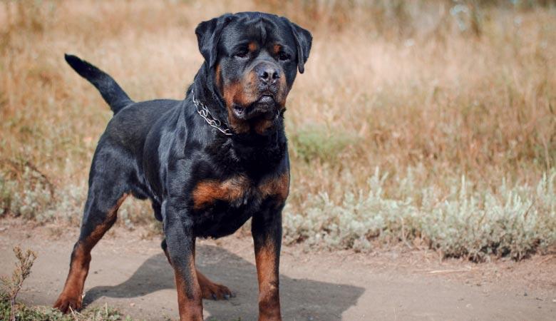 rottweiler-100-pounds