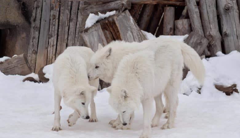 the-alaskan-wolf