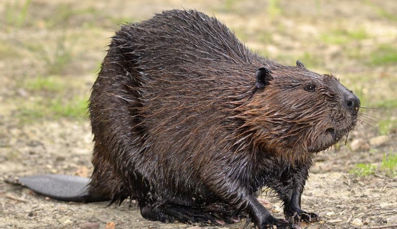 the-north-american-beaver-heavy-rodent