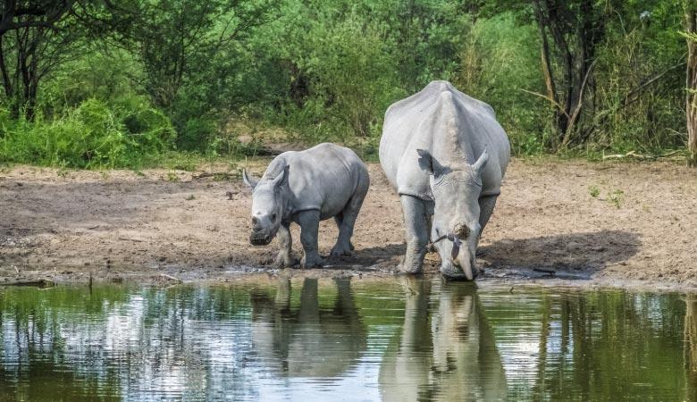 white-rhino-weight