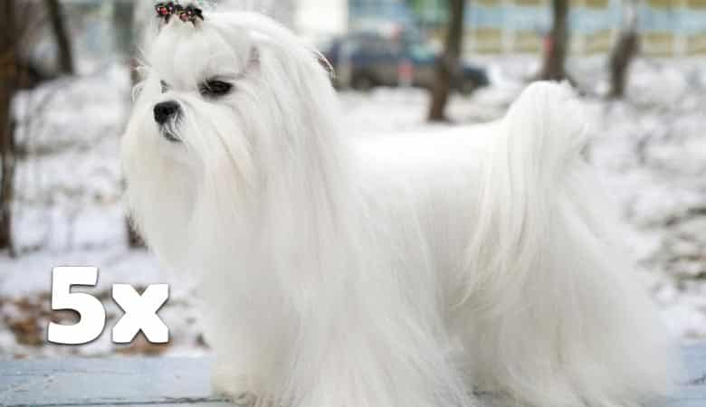 5-male-maltese-dogs-40-pounds