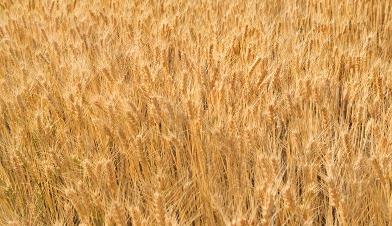 bushel-of-wheat-60-pounds
