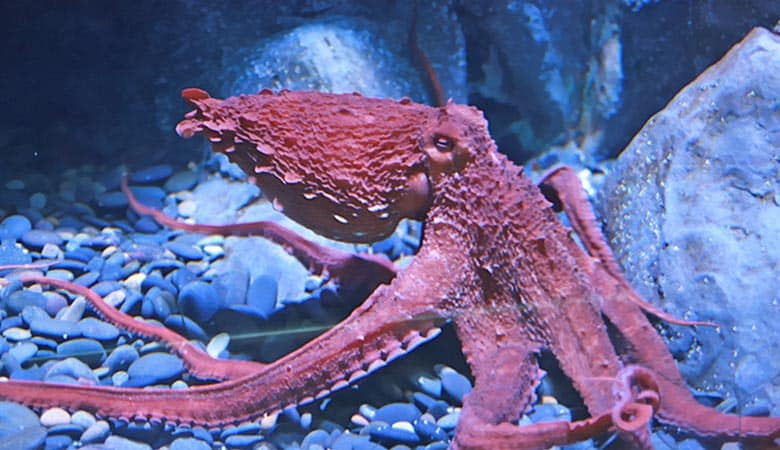 Pacific-Giant-Octopuses-100-kg