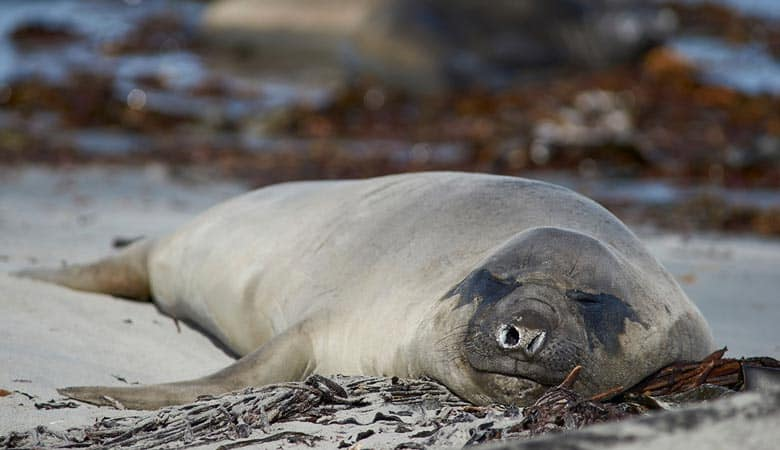 Southern-Elephant-Seal-5-tons
