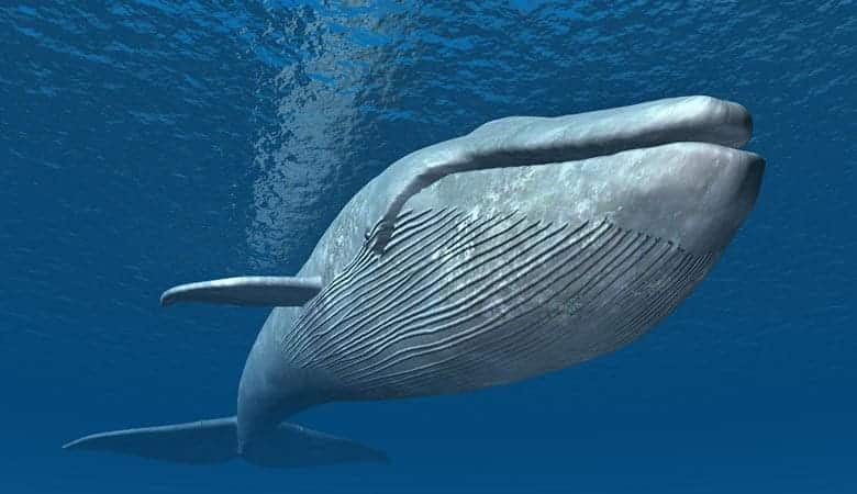 blue-whale-200-tons