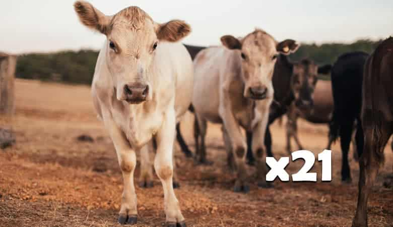 21-cows-16-tons