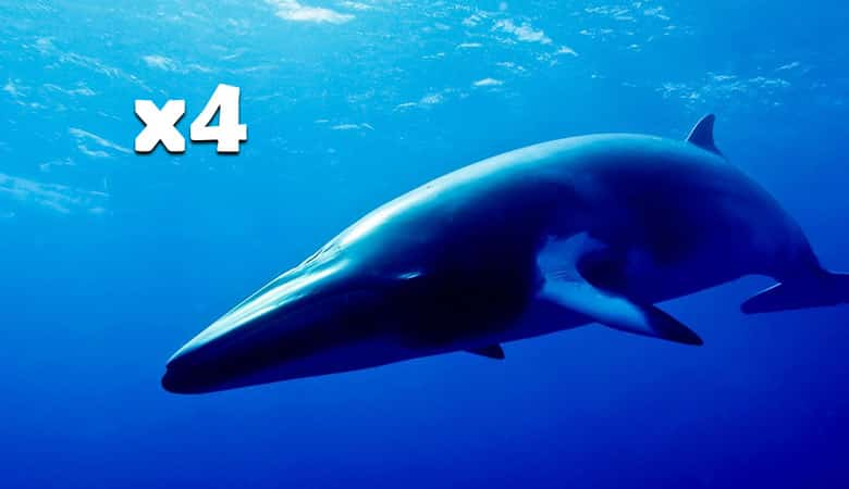 4-mink-whales-16-tons