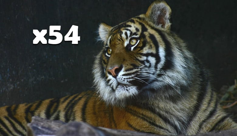 54 tigers weight 16 tons