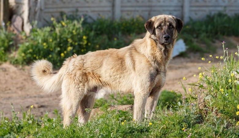 Anatolian-Shepherd-Dog-50-kg
