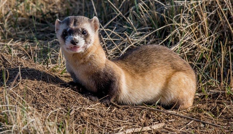 Black-footed-ferret-1-kg