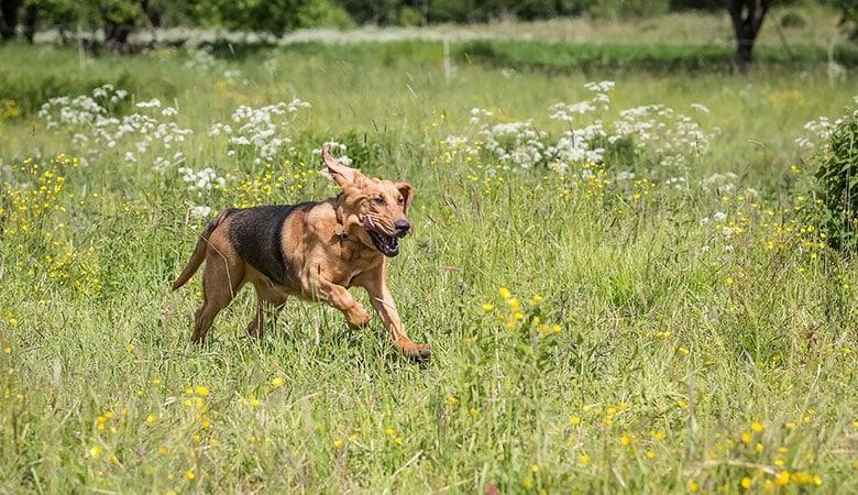 Bloodhound-50-kg
