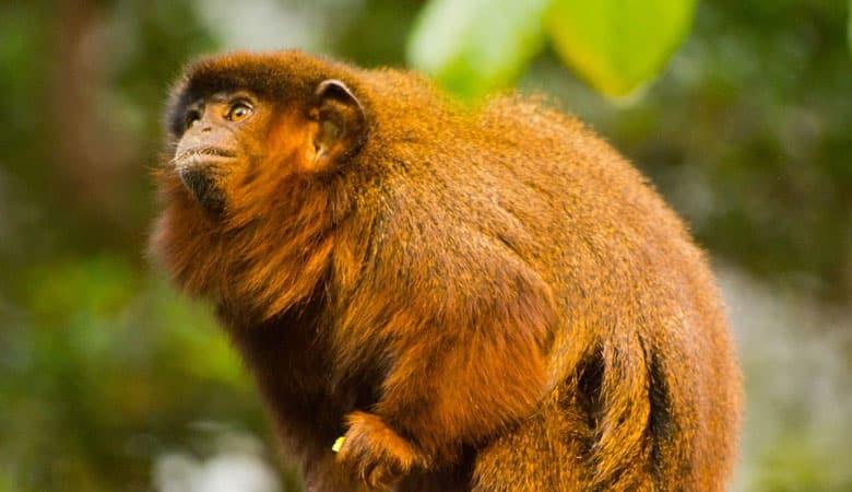 Coppery-Titi-Monkey-1-kg