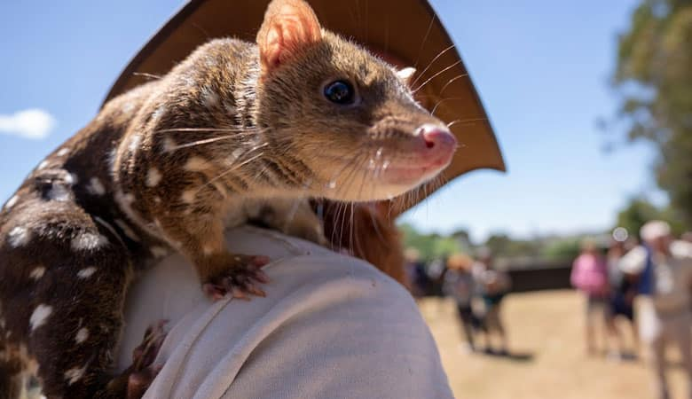 Eastern-Quoll-1-KG
