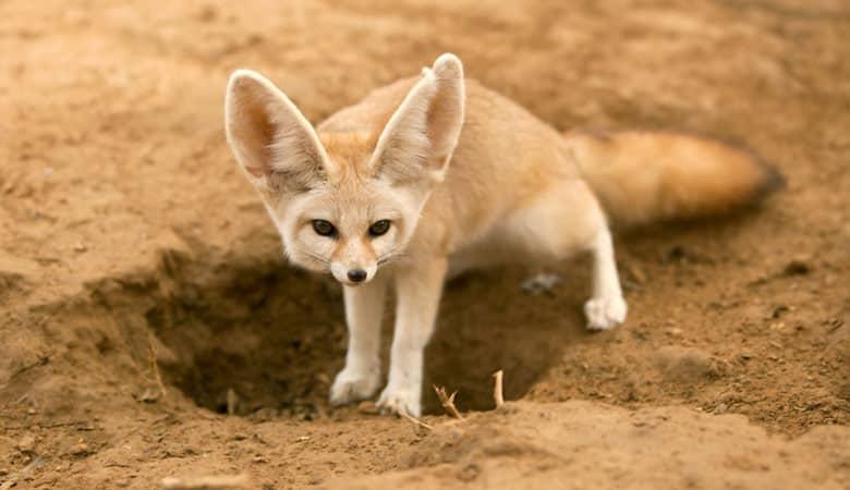 Fennec's-Fox-1-kg