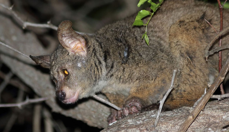 Greater-Galago-1-kg