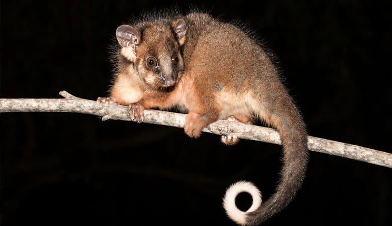 Lemuroid-Ringtail-Possum-1-kg