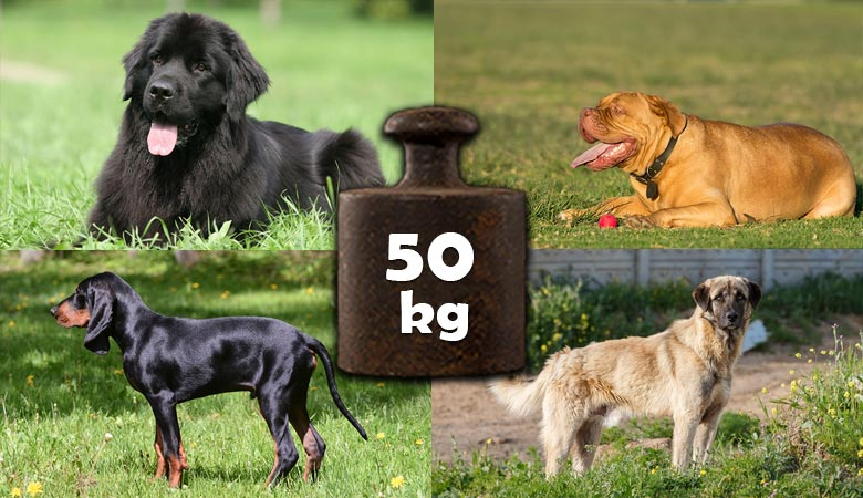 dogs-that-weigh-50-kg