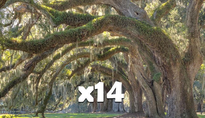 14-Live-oak-trees-14-tons