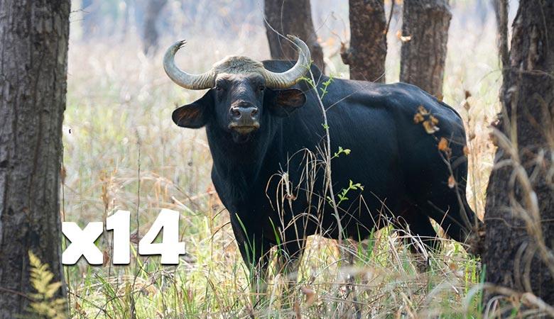14-Wild-Water-Buffalos-14-tons