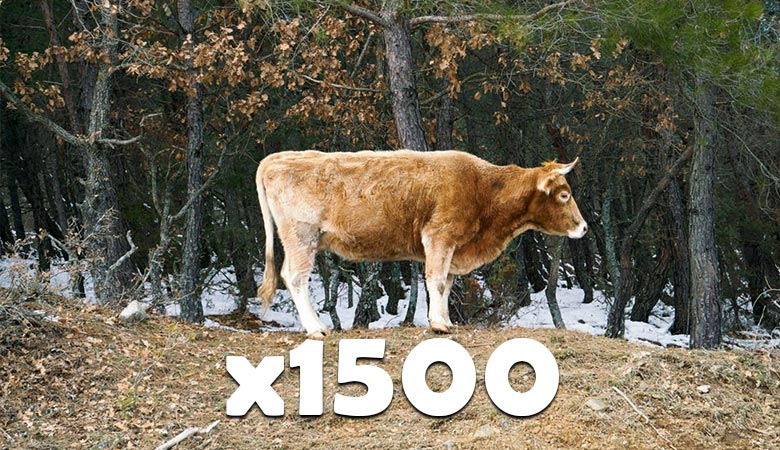 1500-cows-900-tons
