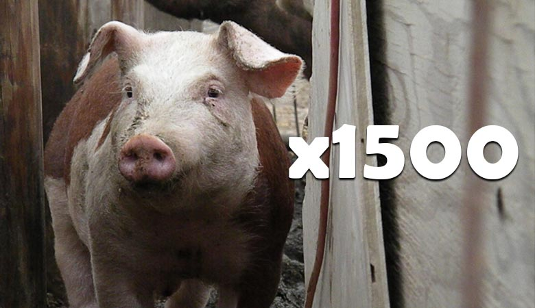 1500-pigs-400-tons