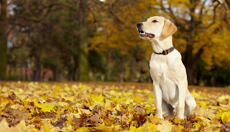 Labrador-Retriever-65-pounds