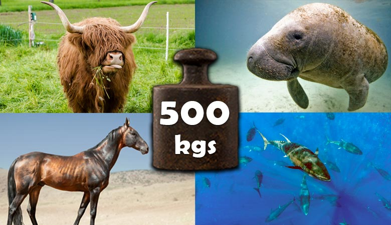 animals-that-weigh-500-kilograms-kgs