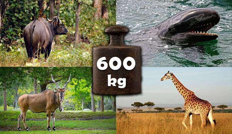 animals-that-weigh-600-kg-kilogram