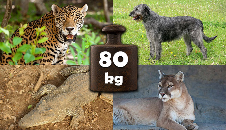 animals-that-weigh-about-80-kg