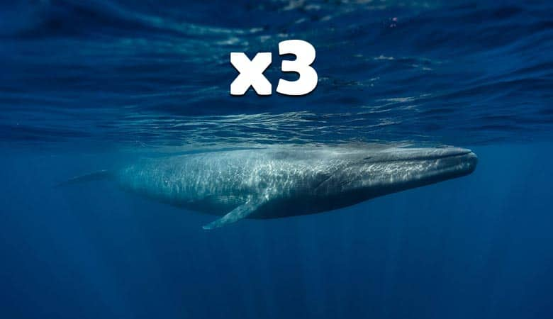 three-blue-whales-500-tons